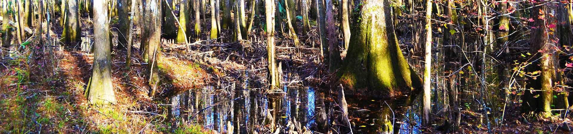 swamp and trees at Altamaha Wildlife Management Area