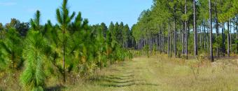 pine trees at Bartram Forest Wildlife Management Area