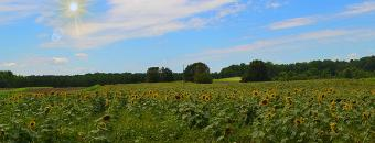 Sunflowers in Dove Field
