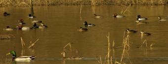 ducks on water at Rum Creek WMA